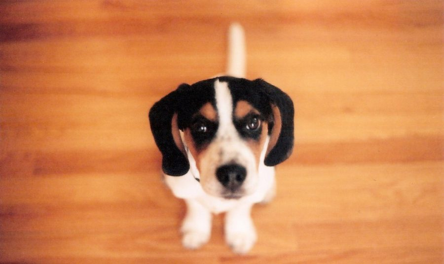 How to Protect Wood Floors from Pets
